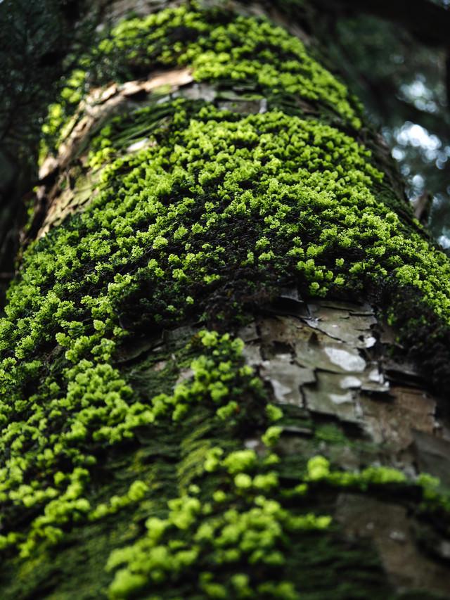 びっしりと苔生す杉の写真
