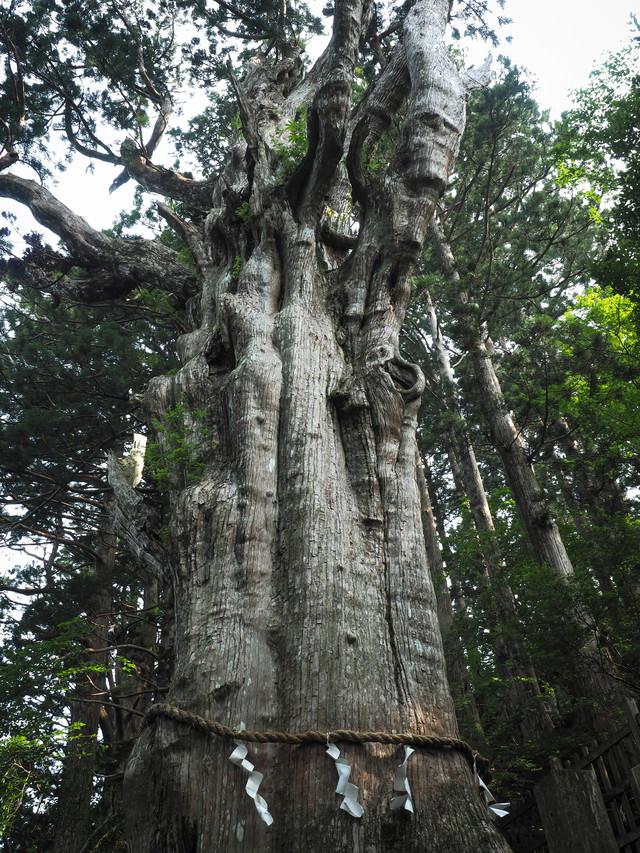 樹齢3000年の神代杉(玉置神社)の写真