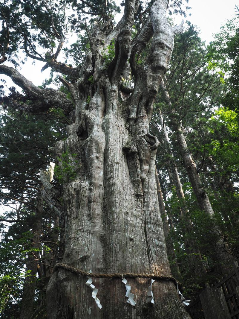 「樹齢3000年の神代杉(玉置神社)」の写真