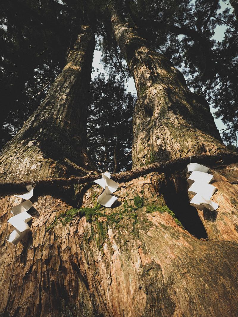 「樹齢750年の夫婦杉(玉置神社)」の写真