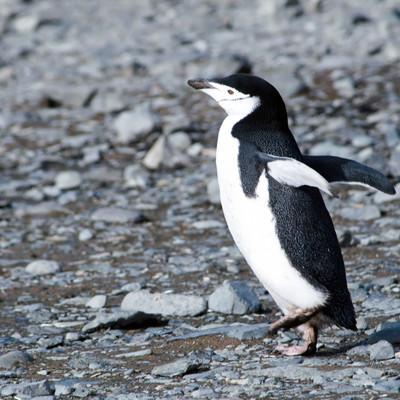 「落ち着きのないヒゲペンギン」の写真素材