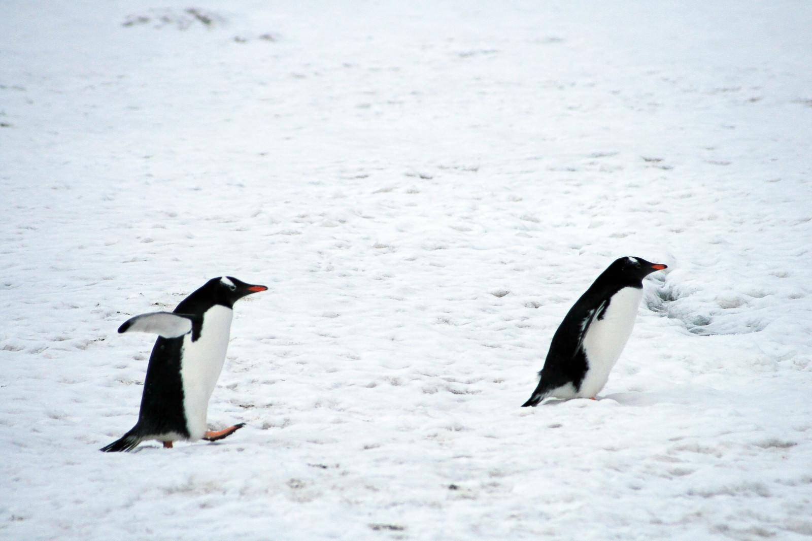 「よちよちジェンツーペンギン」の写真