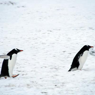 「よちよちジェンツーペンギン」の写真素材