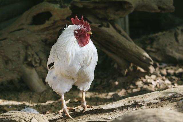 来年は鶏の出番(干支)か…の写真