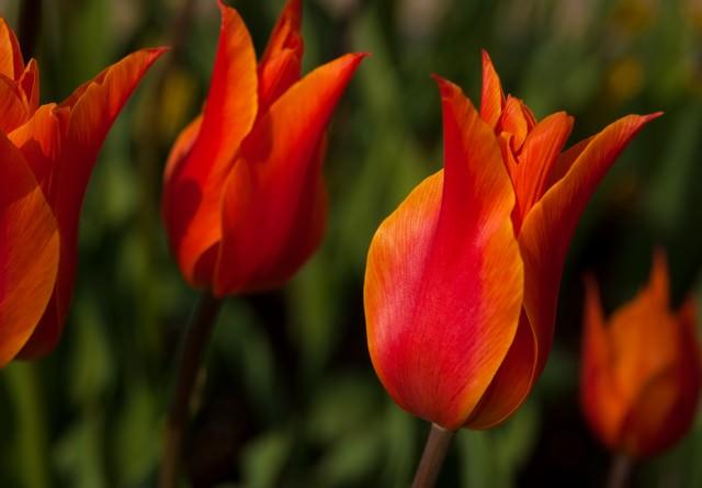 赤いチューリップの花の写真