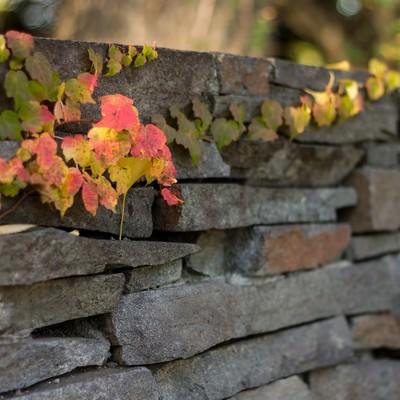 「石の塀とツタ」の写真素材