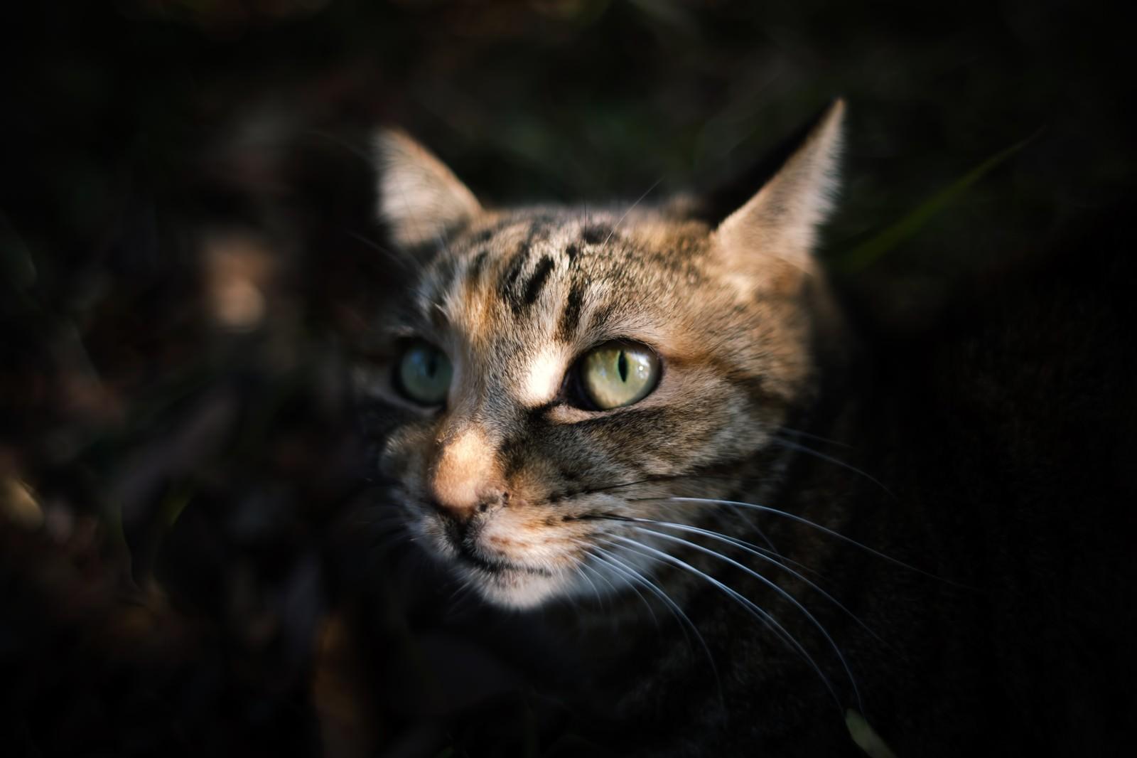 「暗闇から顔を出す猫」の写真