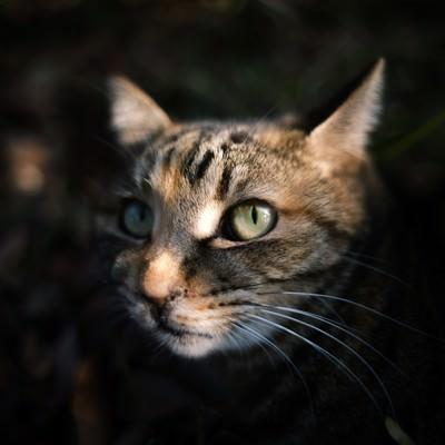 「暗闇から顔を出す猫」の写真素材