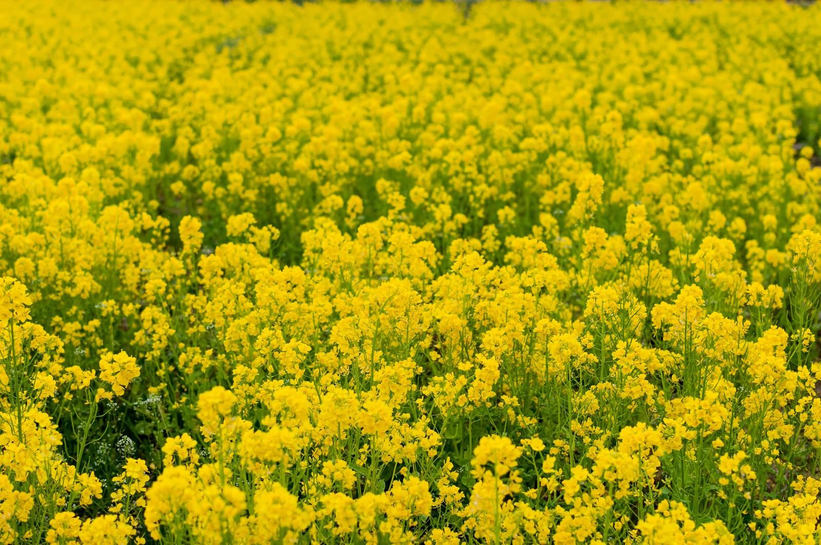 「菜の花」の写真