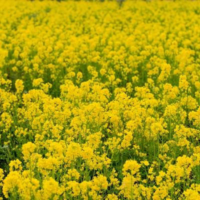 「菜の花」の写真素材