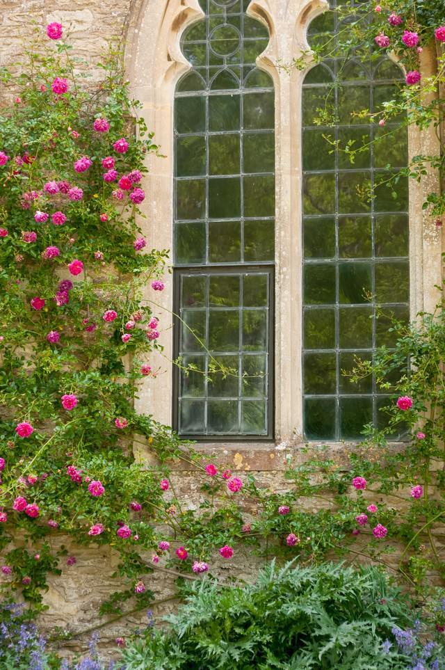 窓とクライミングローズの写真