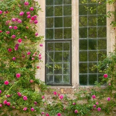 「窓とクライミングローズ」の写真素材