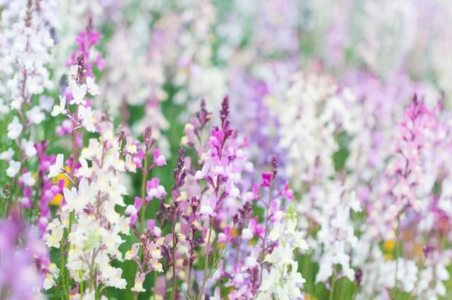 リナリアの花の写真