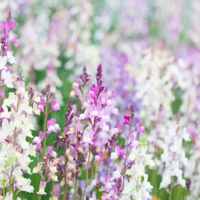 「リナリアの花」の写真素材