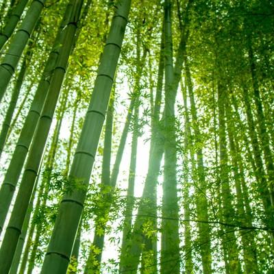 薄暗い中、日差しが入る竹林の写真