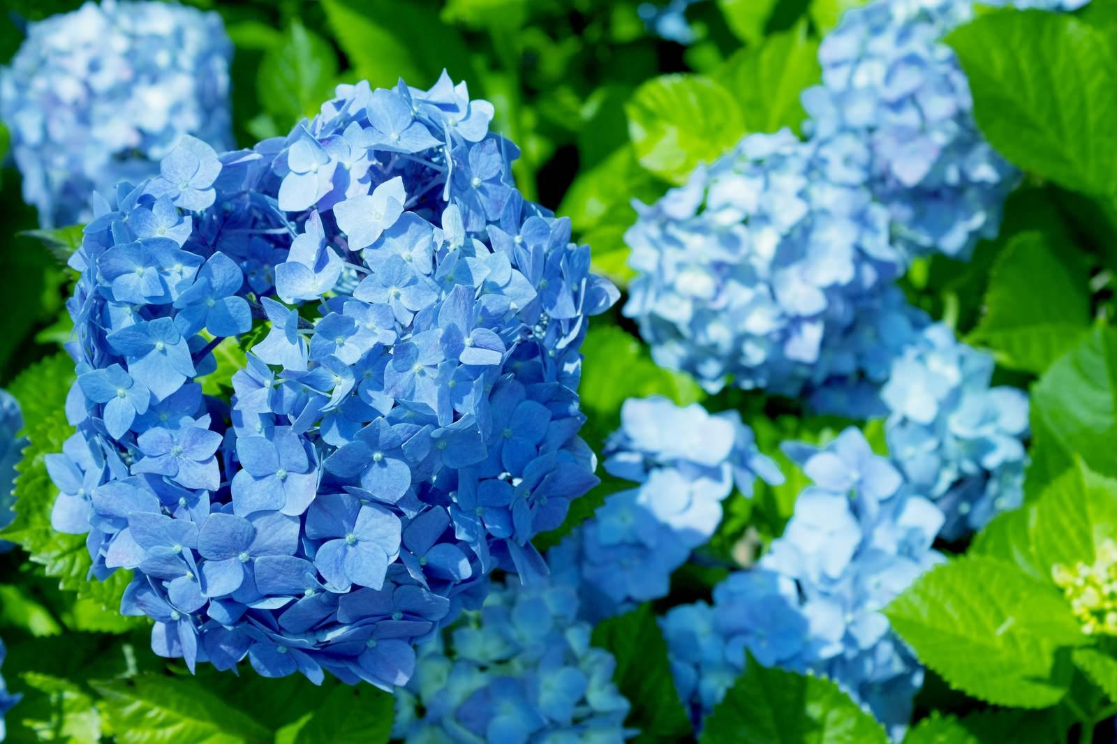「青い紫陽花(アジサイ)」の写真