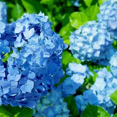 「青い紫陽花(アジサイ)」の写真素材