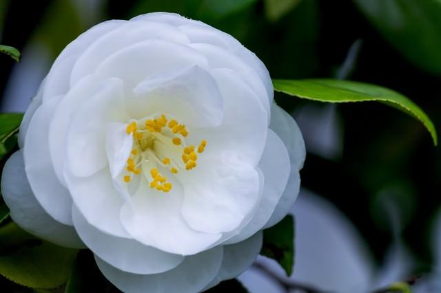 白い椿の写真