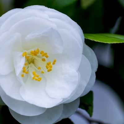 「白い椿」の写真素材