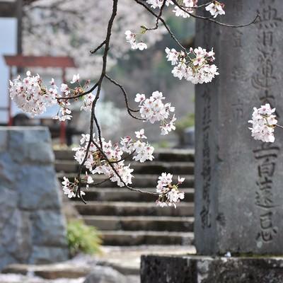 「寺と桜」の写真素材