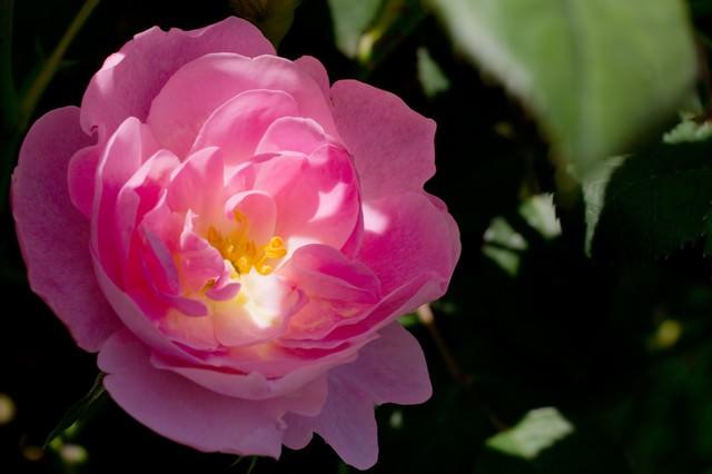 日が差し込むピンクの薔薇の写真
