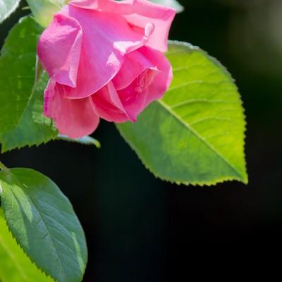 黒に強調されるピンクの薔薇の写真
