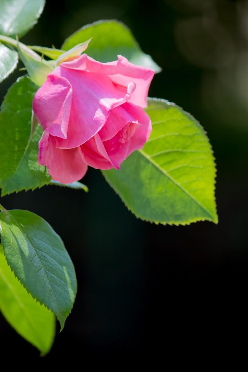 「黒に強調されるピンクの薔薇」の写真