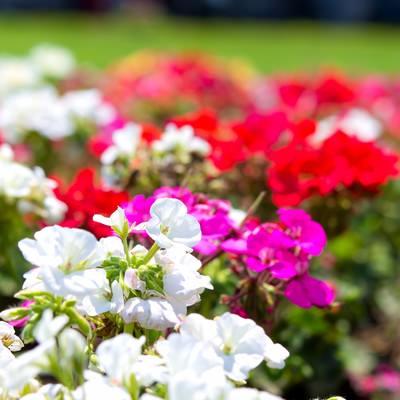 「色とりどりの花壇」の写真素材