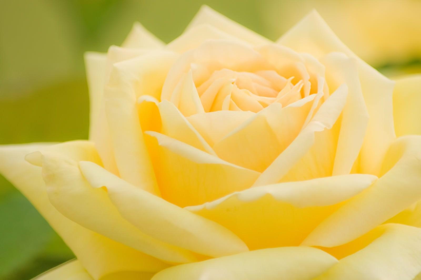 「黄色い薔薇」の写真