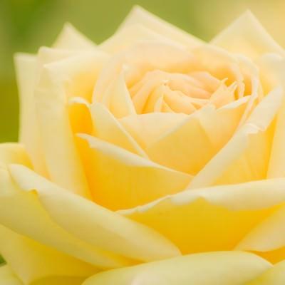 黄色い薔薇の写真