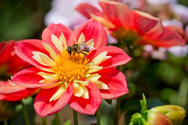 蜜を吸うハナアブの写真