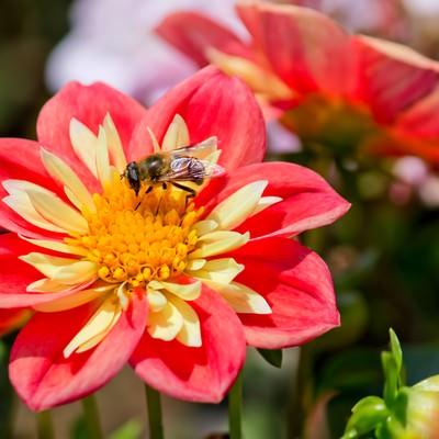 「蜜を吸うハナアブ」の写真素材