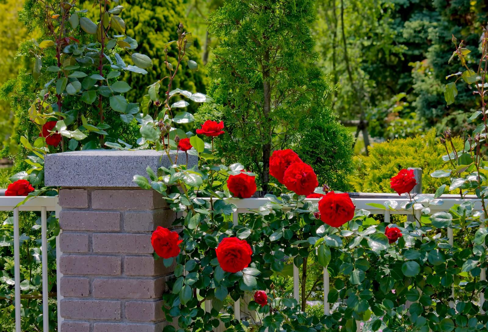 「庭のレンガと赤い薔薇」