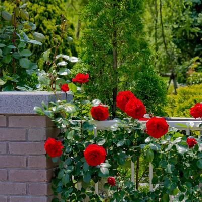 庭のレンガと赤い薔薇の写真