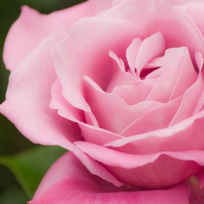 「ピンクの薔薇」の写真素材