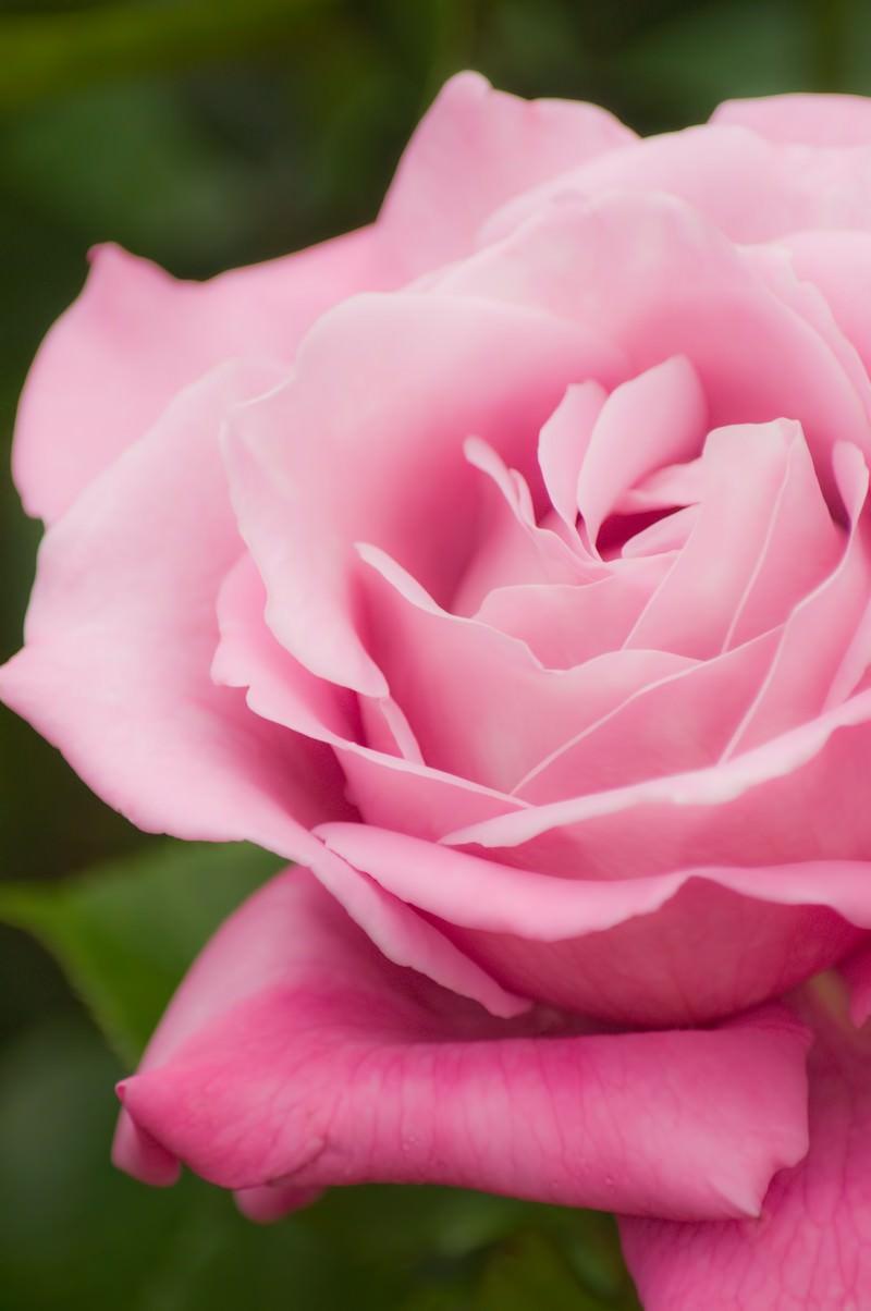 「ピンクの薔薇ピンクの薔薇」のフリー写真素材を拡大