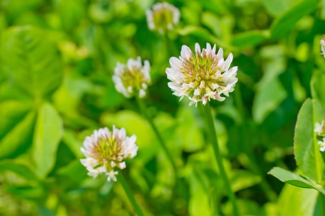 シロツメグサの花の写真