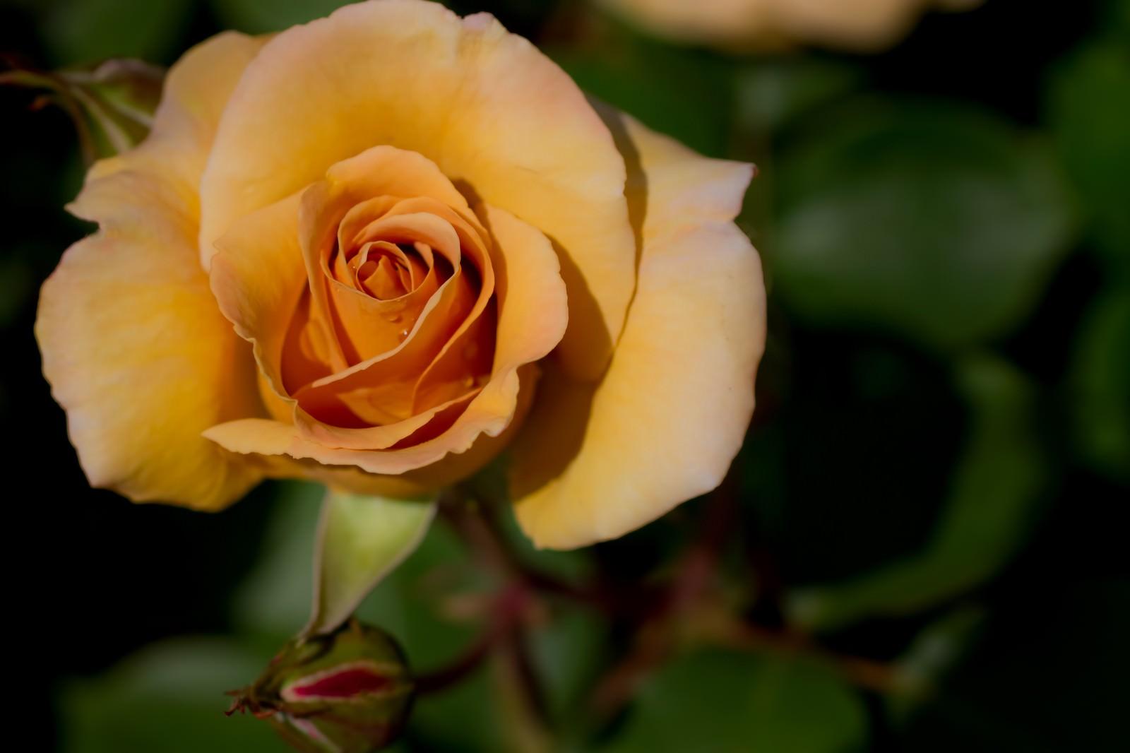 「水滴がついたシックな薔薇」の写真