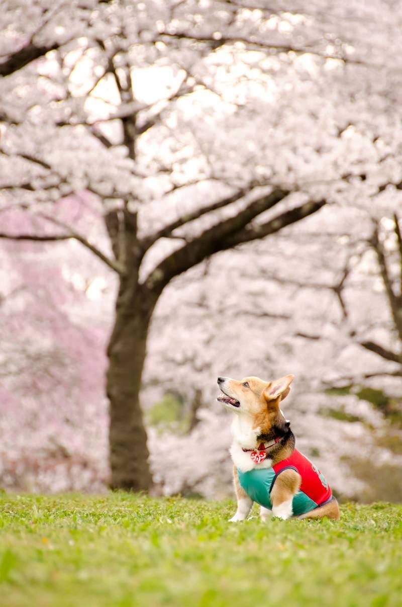 「花よりワンコ花よりワンコ」のフリー写真素材を拡大