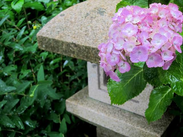 薄いピンクの紫陽花と灯籠