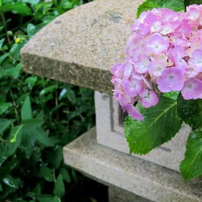 「薄いピンクの紫陽花と灯籠」の写真素材