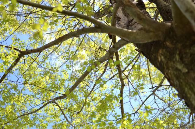見上げる木と美しい青空の写真