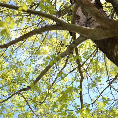 「見上げる木と美しい青空」の写真素材