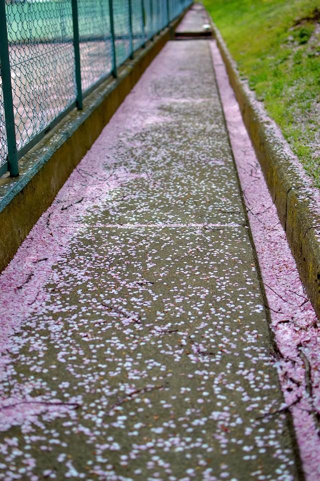 桜の花びらが散る小道の写真