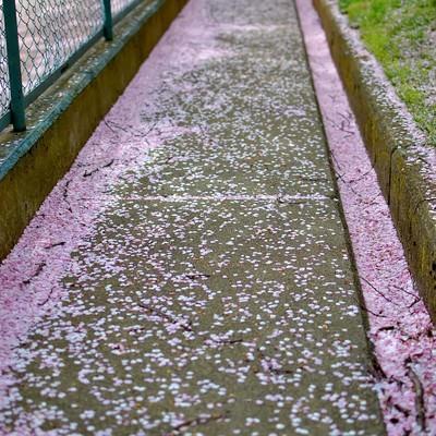 「桜の花びらが散る小道」の写真素材