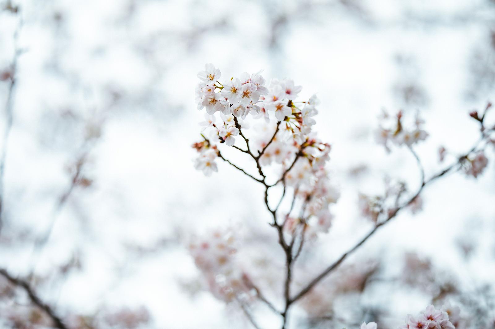 「冬に咲く桜」の写真