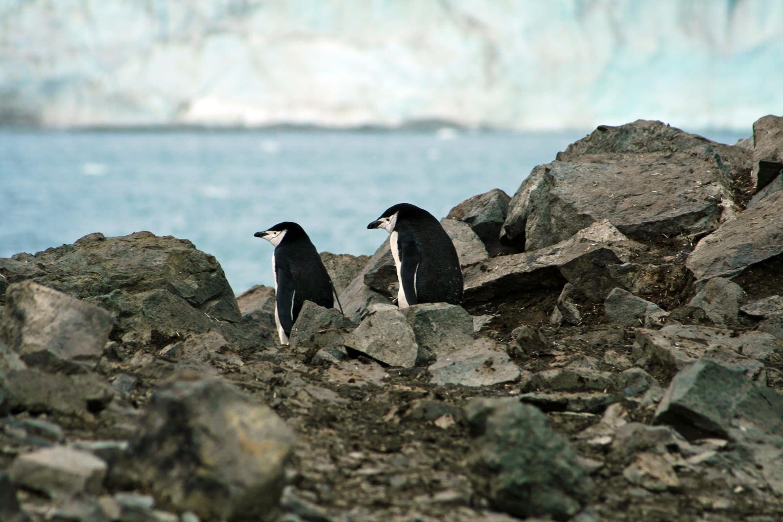 「岩場のペンギン夫妻」の写真