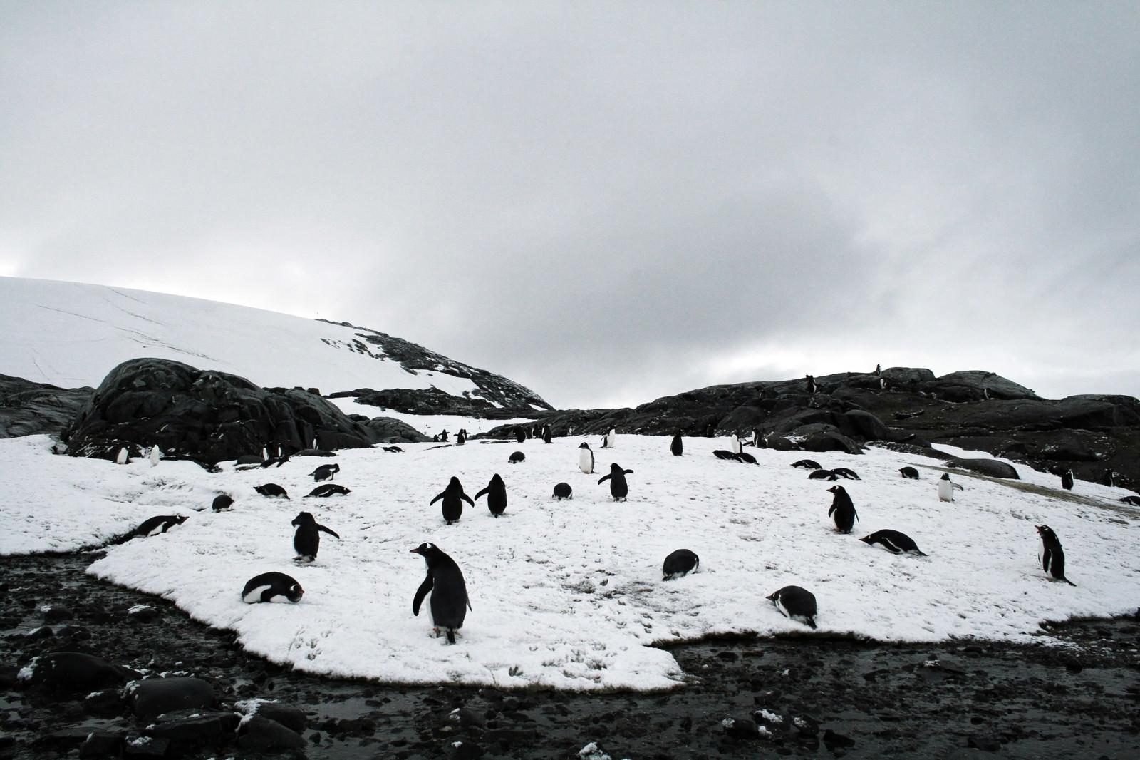 「凍った坂道をよちよち歩くペンギンの群れ」の写真