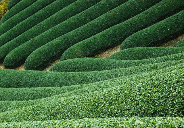 京都和束の茶畑の写真