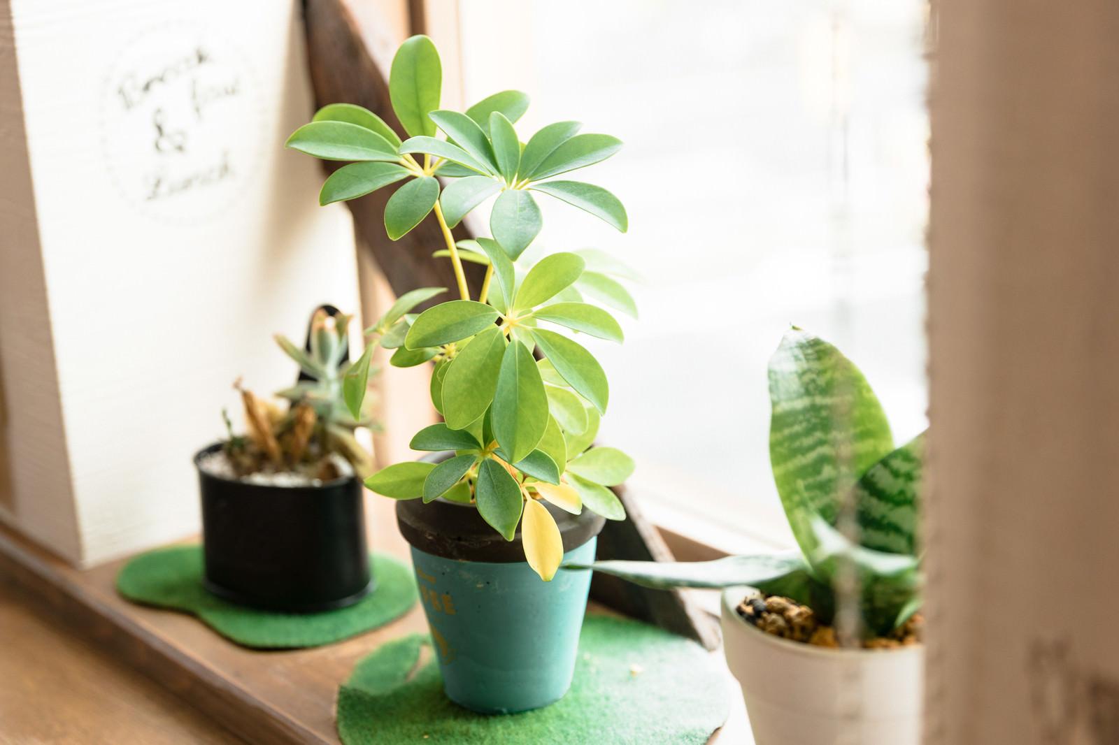 「カフェの窓辺の観葉植物」の写真